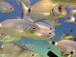 Fischschwarm im Akrotiri Fish Reserve (Quelle: www.alohadivers.com)